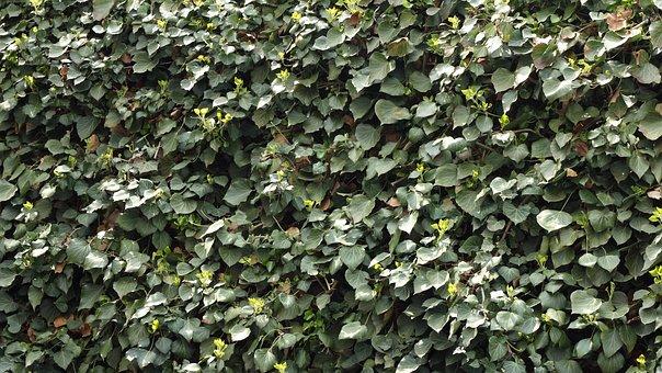 Ivy, Climber Plant, Leaf, Green, Nature, Hedge
