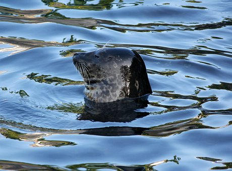 Harbor Seal, Phoca Vitulina, Female, Marine Mammal