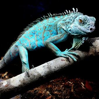 Iguana, Blue, Reptile, Nature, Lizard, Tropical, Exotic
