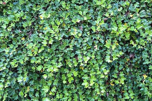 Ivy, Ivy Hedge, Overgrown, Plant, Leaf, Leaves