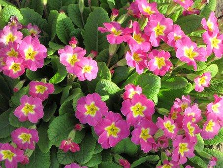 Petunia, Flowers, Spring, Purple, Blossom, Nature