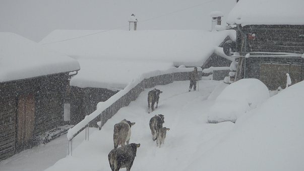 Winter, Winter Blast, Safien Valley, Switzerland, Cows