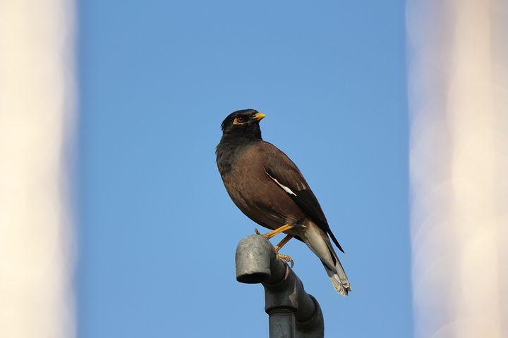 Mynah, Birds, Starling, India, Southern Asia, Dark