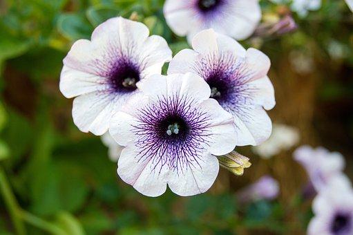 Petunia, Flower, Purple, White, Blossom, Bloom