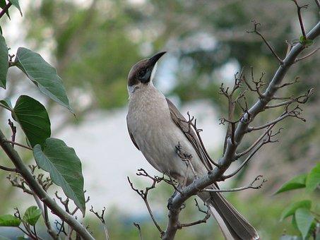 Little Friarbird, Birds, Wildlife, Australian, Nature