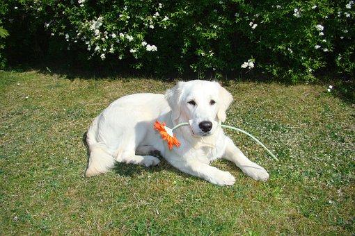Dog, Flower, Spring, Cute, Youngster, Golden Retriewer