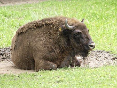 Wisent, Buffalo, Animal, Mammal, Pasture