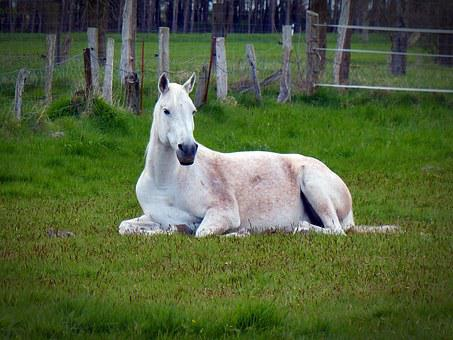 Horse, Mold, White, Rest, Concerns, White Horse, Animal