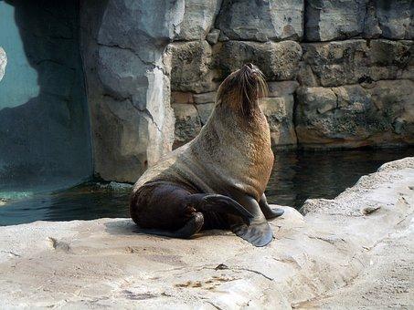 Fur Seal, Aquatic Animal, Sitting