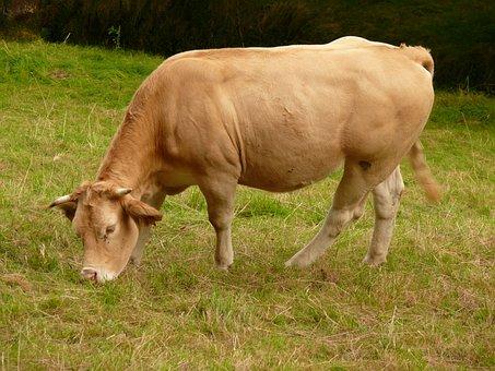 Cow, Aquitaine, Blonde Of Aquitaine, Summer, Prairie