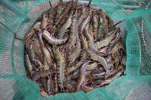 Shrimp, Peaceful, Catch, The Sea