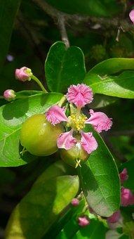 Cherries, Malphigia, Glabra