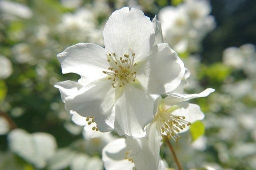Manchurian Shrub, Flower, White, Sunshine, Flora