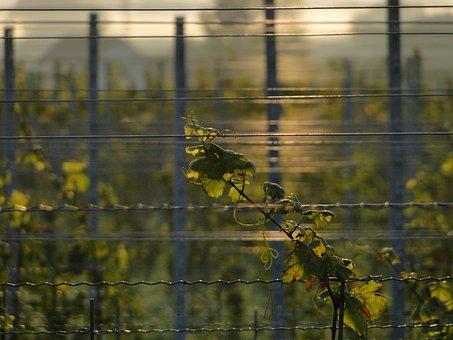 Vineyard, Light, Vines Sea, Mirroring, Morning, Summer