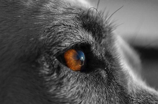 Canine, Dog, Pet, Animal, Loyalty, Eyes, Instinct, Prey