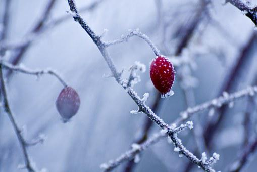 Hoarfrost, Winter, Wild Rose, White, Cold, Snow, Ice