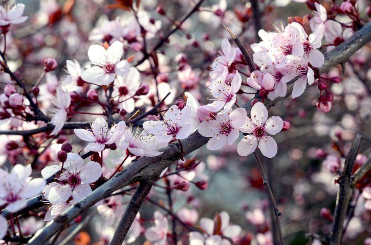 Cherry, Flower, Nature, Spring, Blossom, White, Branch