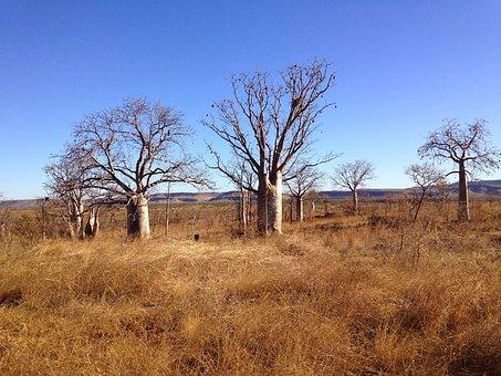 Boab, Trees, Outback, Background, Landscape, Wilderness