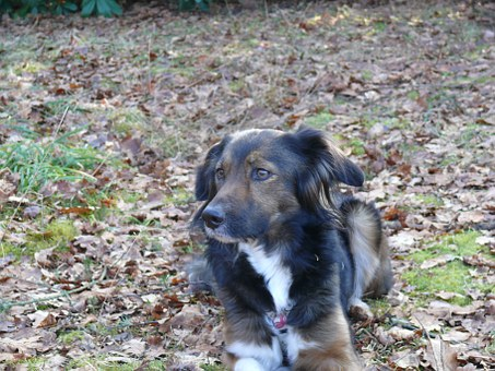 Dog, Irish Setter, Border Collie, Maja