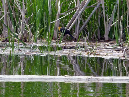 Yellow Headed Blackbird, Marshland, Swamp, Common Reed