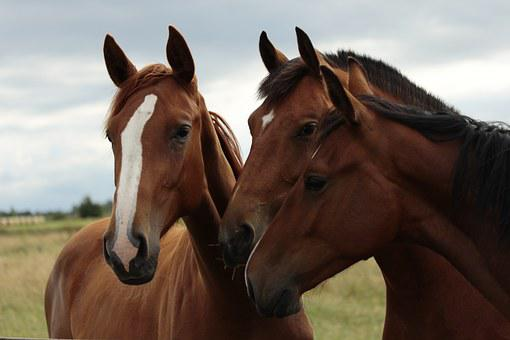 Horses, Horse Heads, Portraits, Ears, Together, Curious