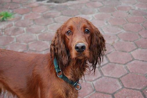 Irish Setter, Dog, Wet, Good, Animal Pertrait