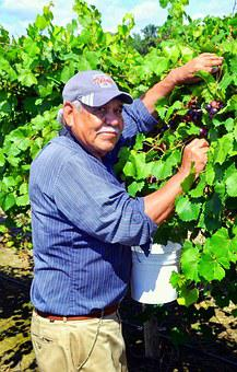 Muscadine, Farm Worker, Grapes