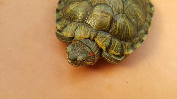 Turtle, Red Eared Slider, Green, Animal