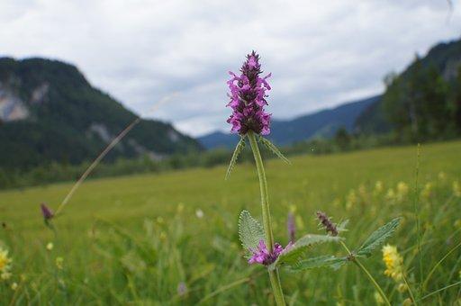 Healing Betony, Betonica Officinalis, Blossom, Bloom