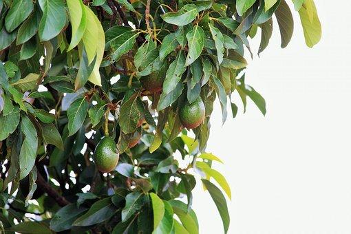 Tree, Big, Avocado, Fruit, Green, Landscape, Natural