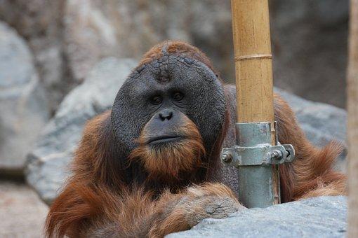 Orangutan, Monkey, Zoo, Hagenbeck