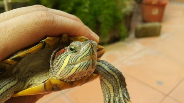 Turtle, Red Eared Slider, Green, Tortoise