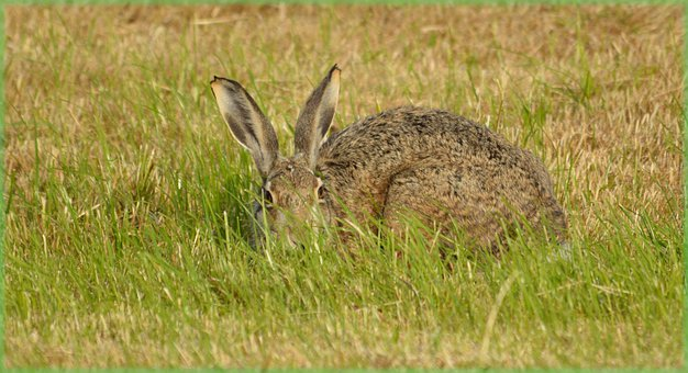 Rabbit, Hare, Field, Meadow, Nature, Animal, Wild, Look