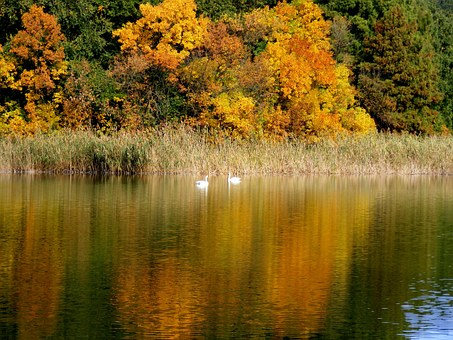 Autumn, Landscape, Lake, Swans, Trees, Leaf, Mirror