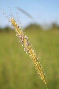 Wheat, Class In The, Wheatfield
