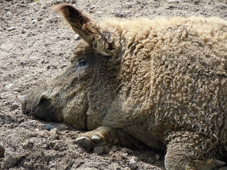 Wool Pig, Pig, Livestock, Dirt, Wallow