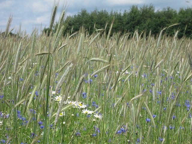 Wheatfield, Summer, Nature