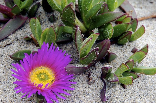 Succulent, Plant, Beach, Sand, Blossom, Purple, Lilac