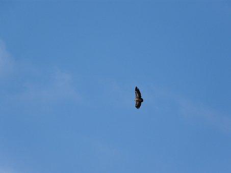 Vautour Moine, Vulture, Bird, Raptor, Sky, Birds