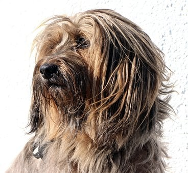 Tibetan Terrier, Terrier, Dog, Head, Portrait, Pet