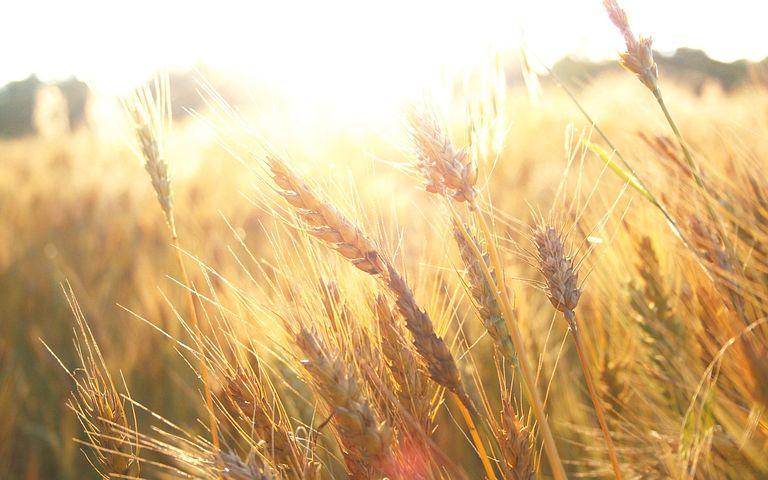 Field, Wheatfield, Sunrise