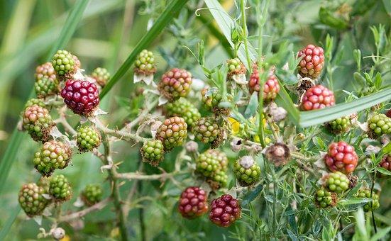 Unripened, Blackberry, Blackberries, Bush, Red, Green