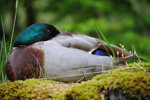 Duck, Sleep, Burd, Animal, Fauna