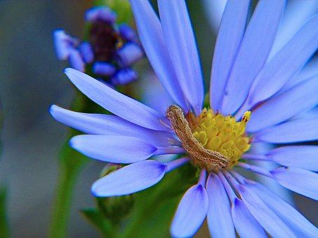 Aster, Flower, Blue, Arctic Aster, Wildflower, Floral