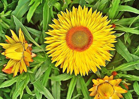 Flower, Yellow, Strawflower, Spring, Blossom