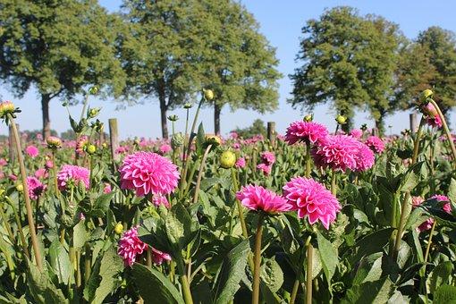 Flower, Dahlia, Dahlia Field, Flowers