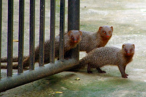 Mongoose, Gray, Indian, Mom, Babies, Baby With Mom