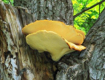 Polyporus Squamos, Mushroom, Tree, Plant, Macro