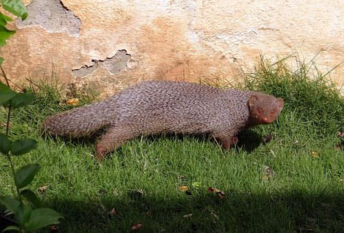 Mongoose, Indian Grey Mongoose, Rodent, Animal
