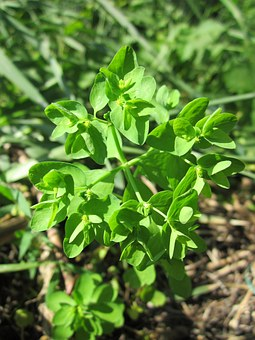 Euphorbiaceae, Spurge, Wildflower, Flora, Botany, Plant